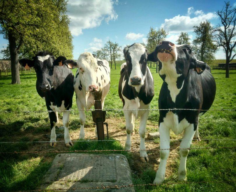 Belgium_cows