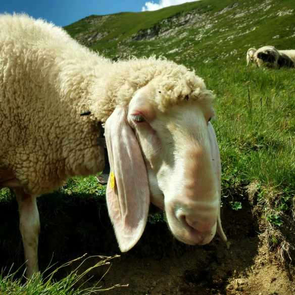 Allgäuer_Sheep