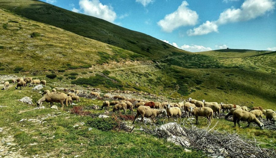 Heaps of sheep on the Macedonian Traverse