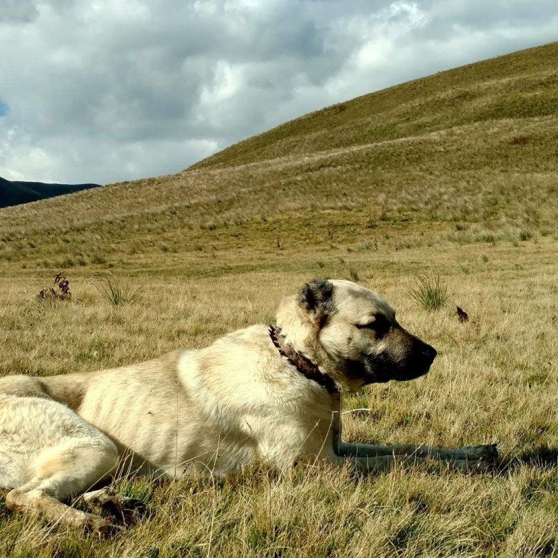 Deshat mountain dog
