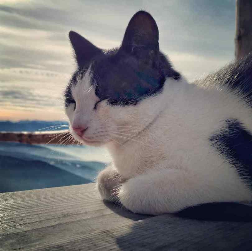 Mountain cat Mac