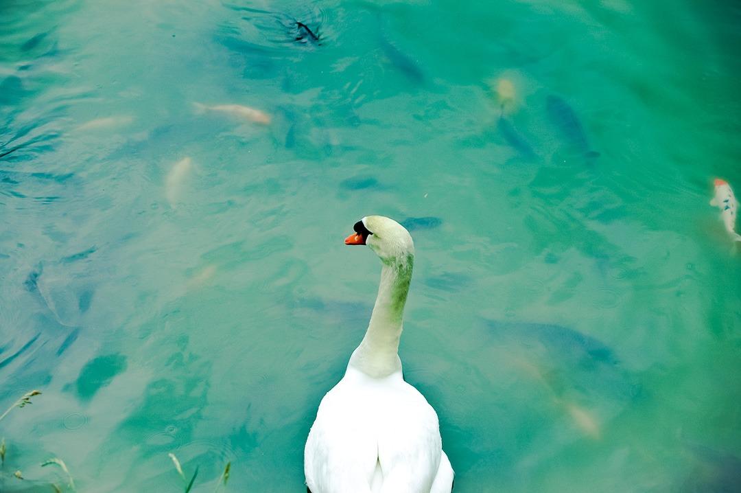 Swan lake - Takayama