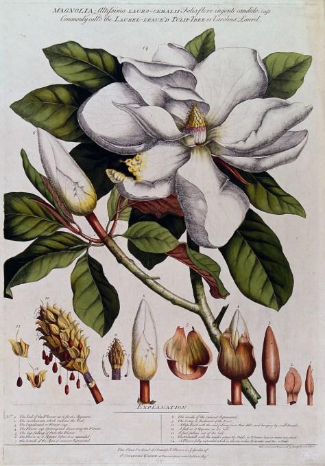 magnolia disegnare la natura