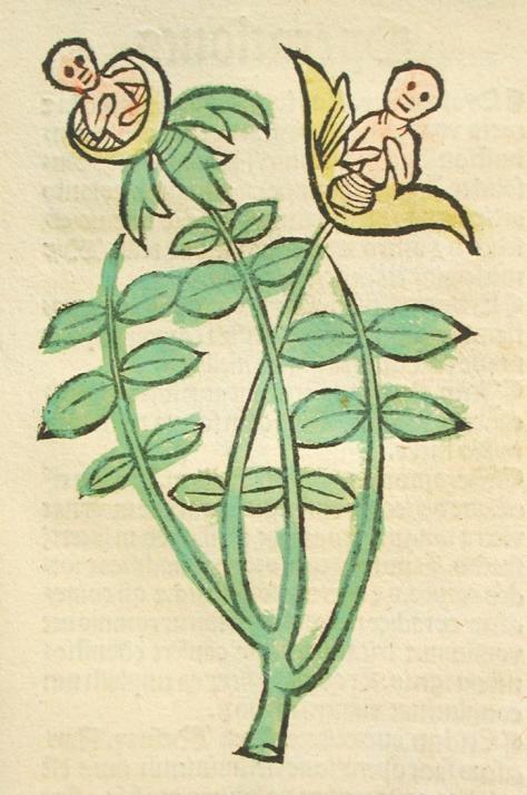 narcisus - hortus sanitatis