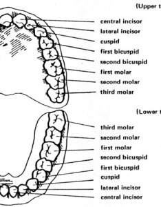 Eruption dates for permanent teeth also tooth evansville pediatric dentistry rh evansvillepediatricdentistry