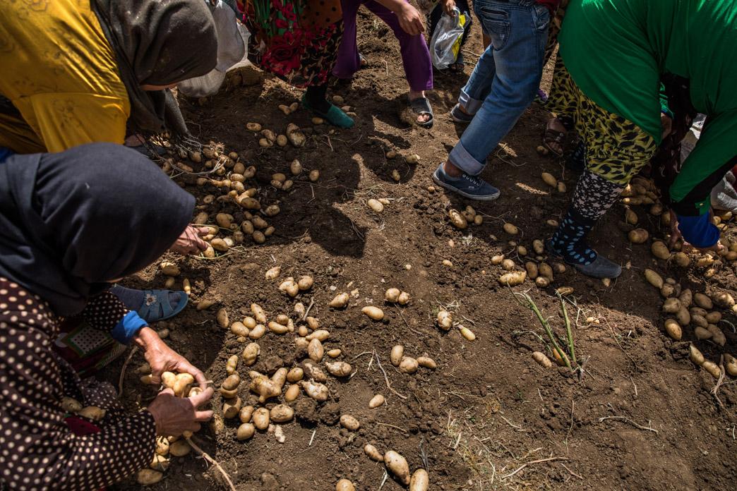 El hambre impulsa a refugiadas sirias sin trabajo, junto a algunos niños, a coger patatas recién recolectadas al final de la jornada, lo que crea situaciones de tensión con los agricultores, que no han dado su consentimiento para que se lleven producto destinado a ser vendido en el mercado.
