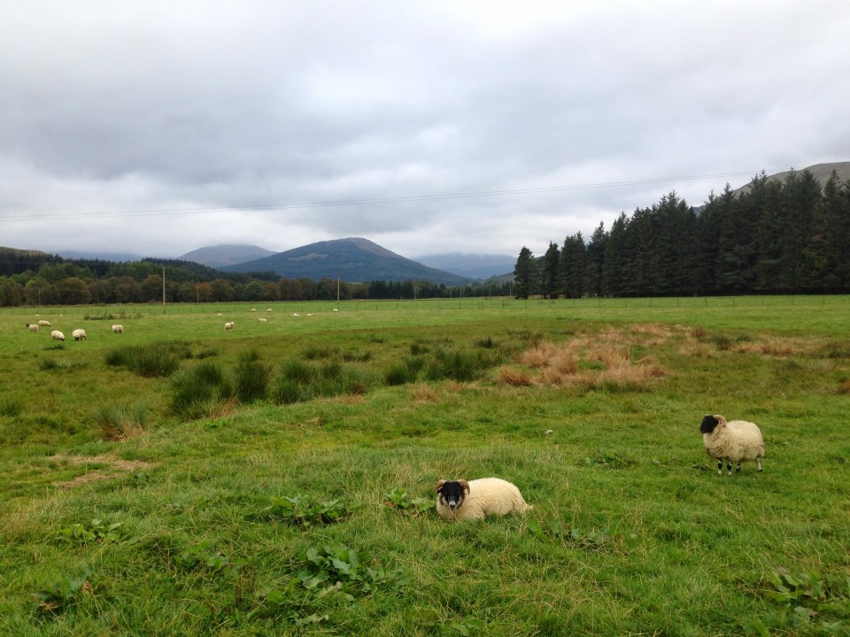 West Highland Way - Sheep