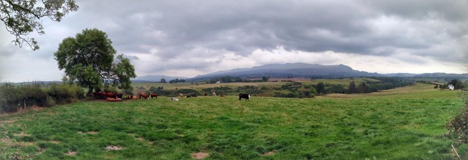 Cows enjoying a lazy afternoon