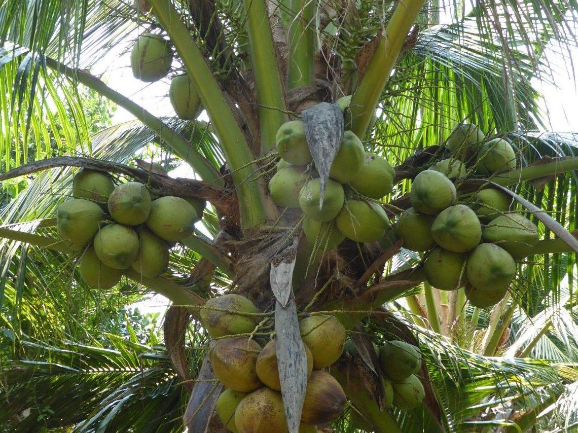 Ananas verger Mekong
