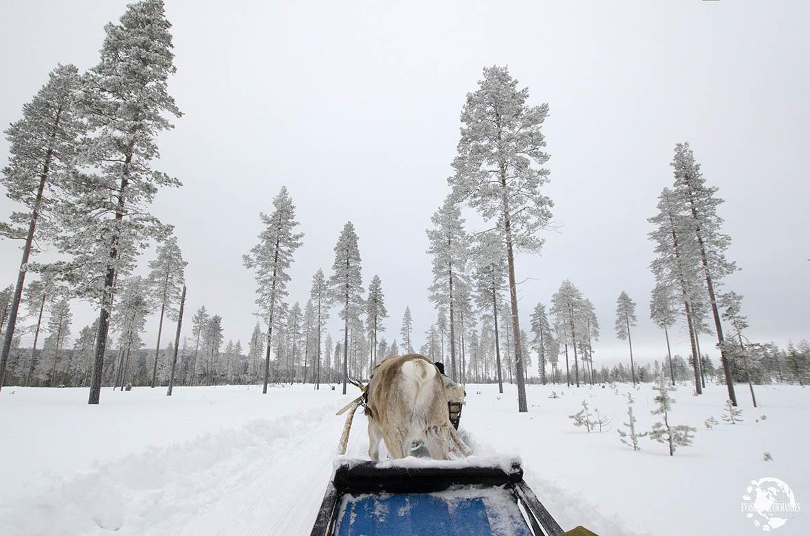 Traineau à rennes