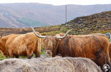 vache écossaise
