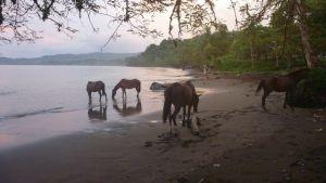 paarden op het strand van Drake Bay