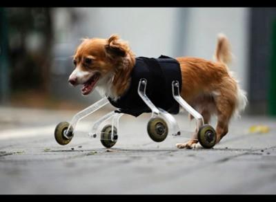 12_Futur - Les animaux handicapés retrouveront leur joie de vivre grâce à des prothèses conçues sur mesure..?!