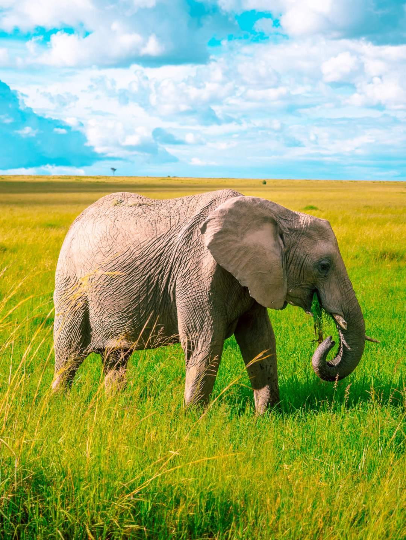 norsu masai mara
