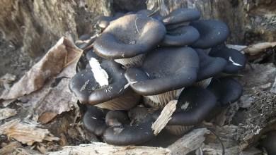 Photo of Il fungo dell'inverno