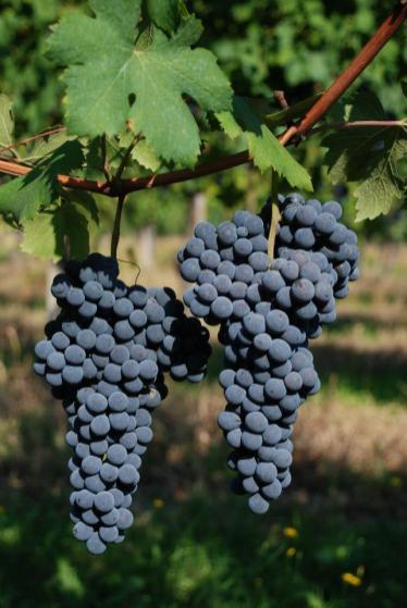 Uva di Sizzano. foto credit pagina fb proloco Sizzano