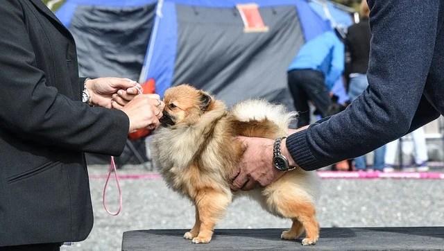 cane da esposizione credit pixabay