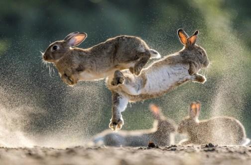 23 Csaba Daróczi, Ungheria Guerra e pace Coniglio selvatico, Bócsa, Bács-Kiskun, Ungheria