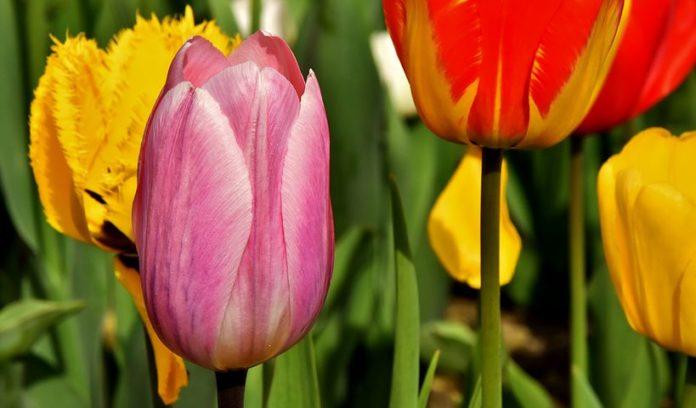 Tulipan im Britzer Garten,Freizeit,Unterhaltung,Britzer Garten,Berlin