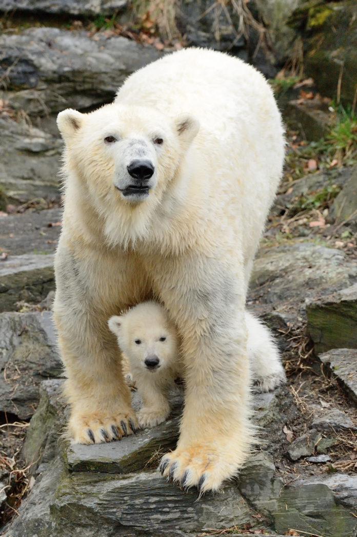 Eisbär,Berlin,Tierpark