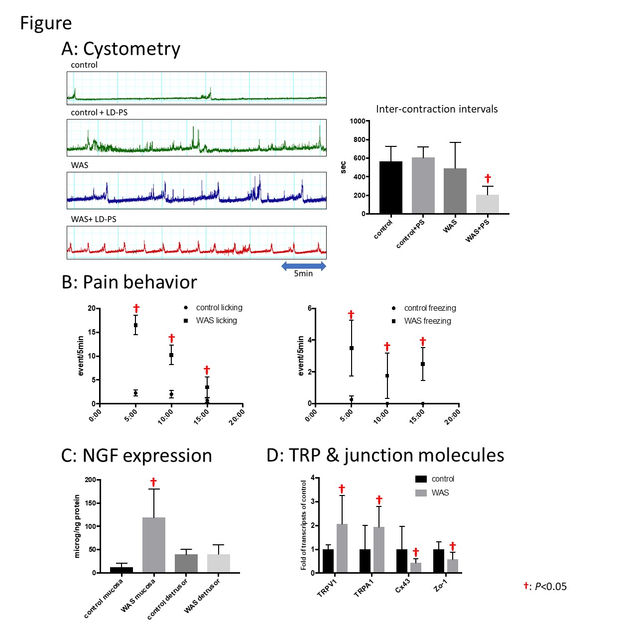 hight resolution of was induced ngf upregulation and decreases of junction molecules in bladder mucosa may contribute to the increased susceptibility to bladder insults leading