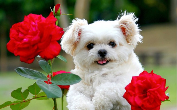 white puppy with roses wallpaper hd