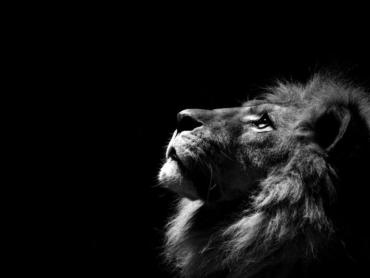 Lion Images Animal Wallpaper