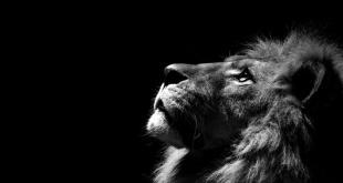 Black Lion Wallpaper HD