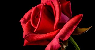 Flower Red Roses