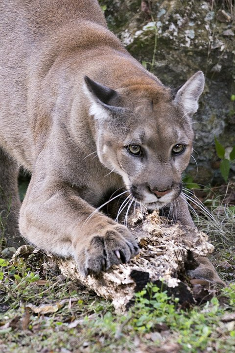 Florida Panther - Friends of the Everglades
