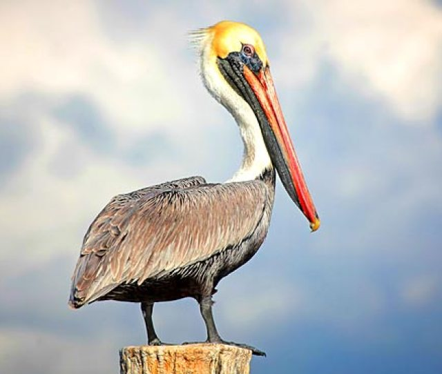 The Everglades Brown Pelicans