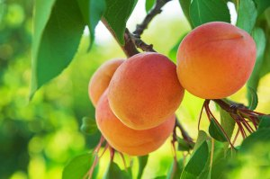 Apricots jpg