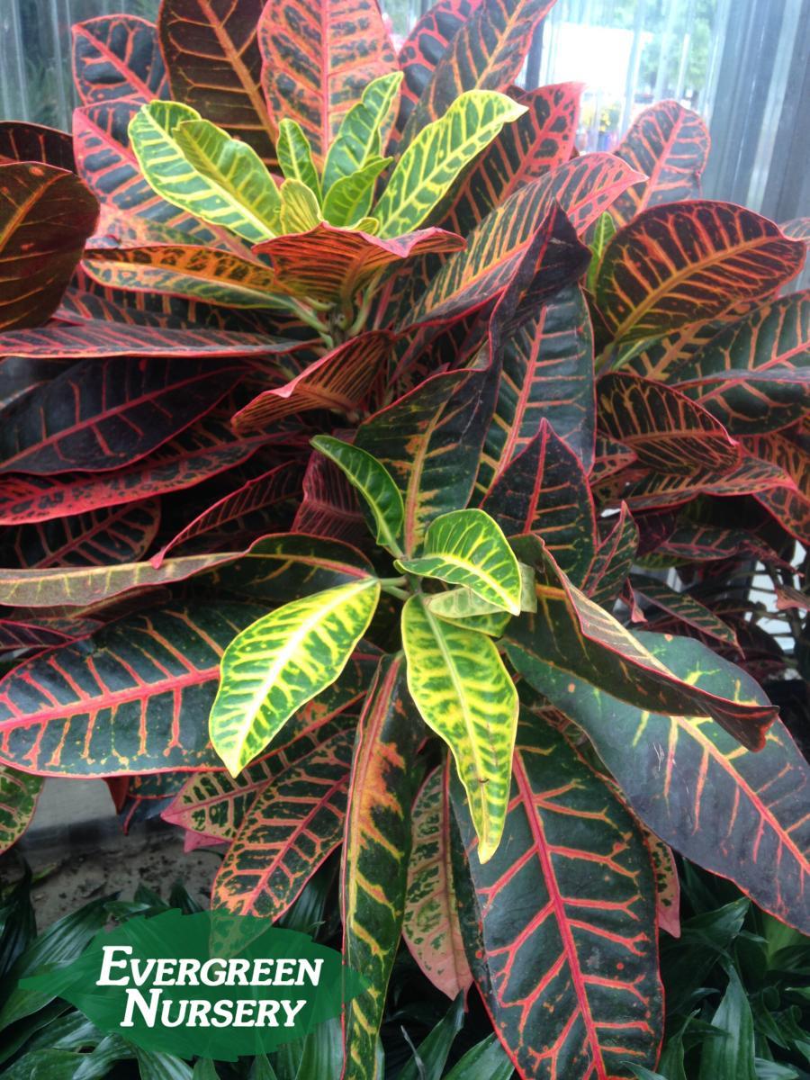 Codiaeum Variegatum Petra Evergreen Nursery