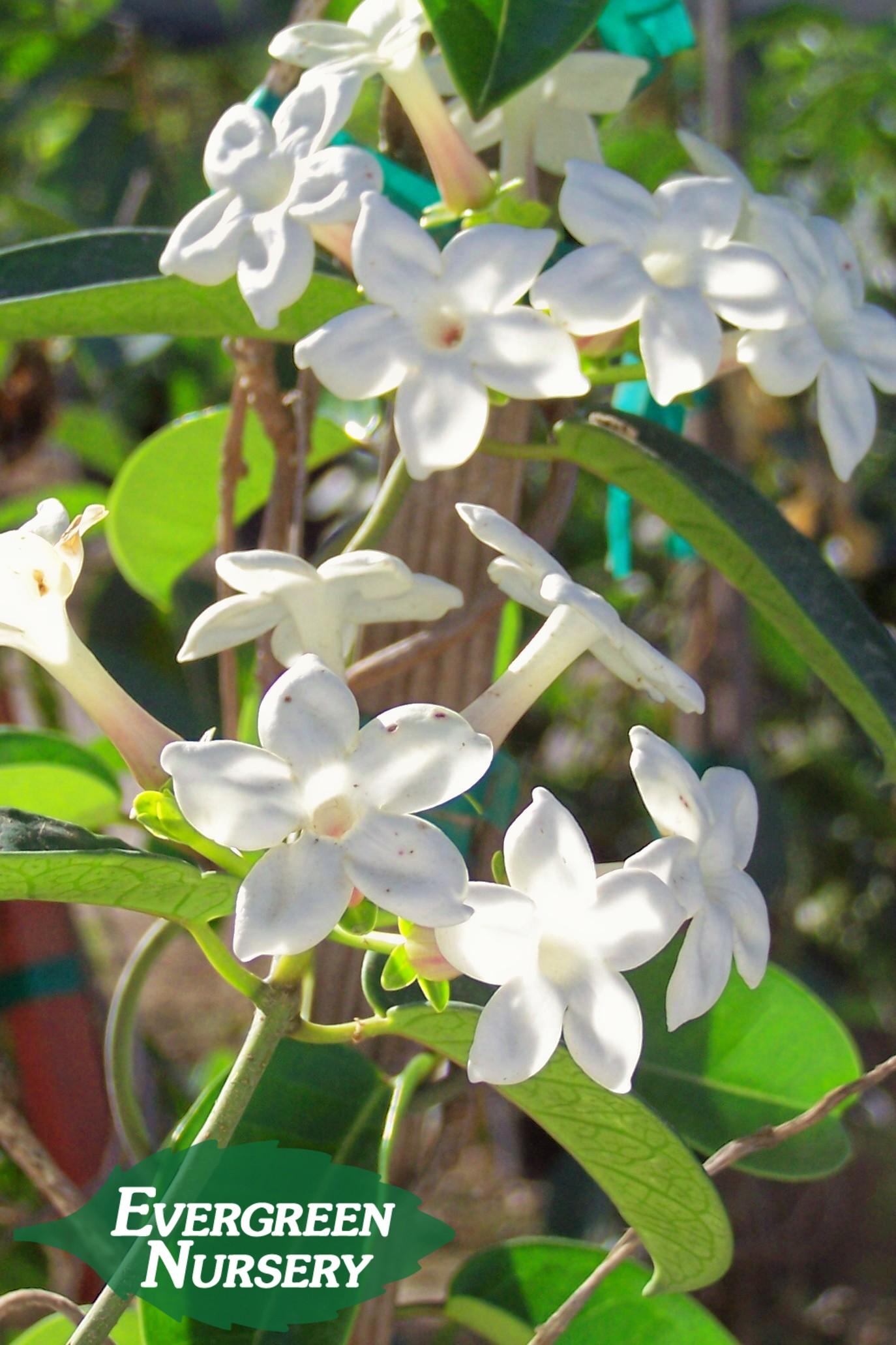 A Vine for ShadeTrumpet Vine and Jasmine  Evergreen Nursery