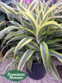 Dracaena Deremensis 'lemon Lime' Evergreen Nursery