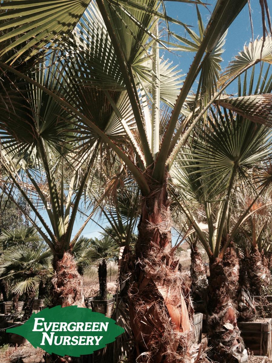 WASHINGTONIA filifera  Evergreen Nursery