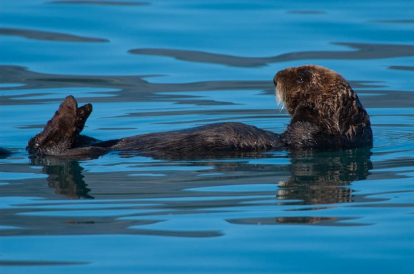 A sea otter relaxes in the calm bay waters, Alaska