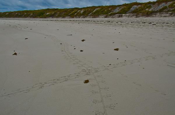 Tracks of the Galapagos marine iguanas