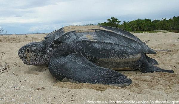 Leatherback SeaTurtle