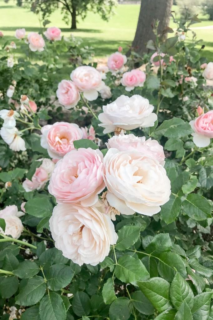 Loose Park Roses 5