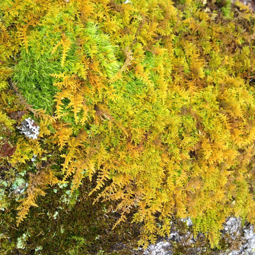 Fern like moss on a maple.