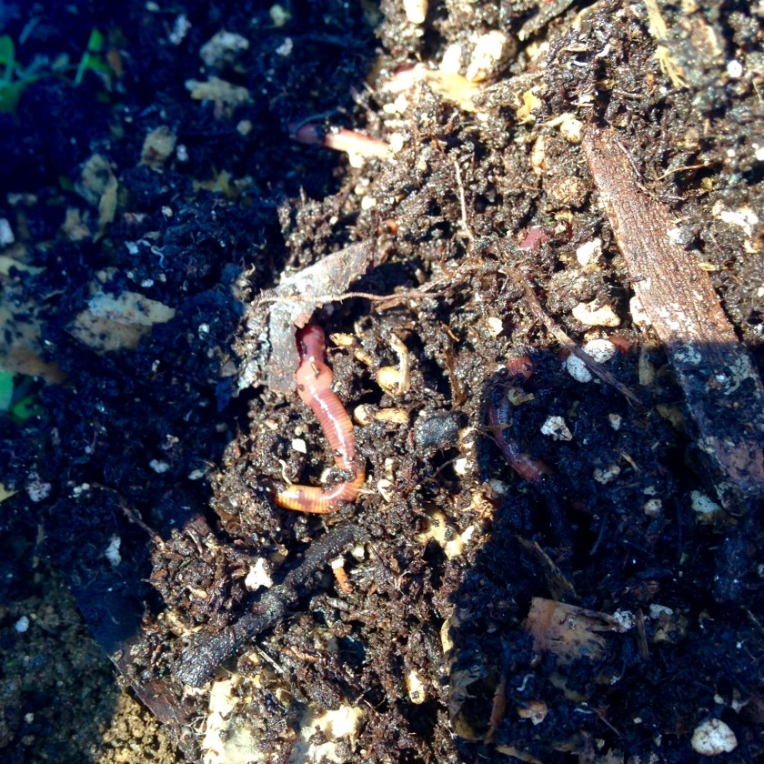 A few healthy red wiggles composting worms.