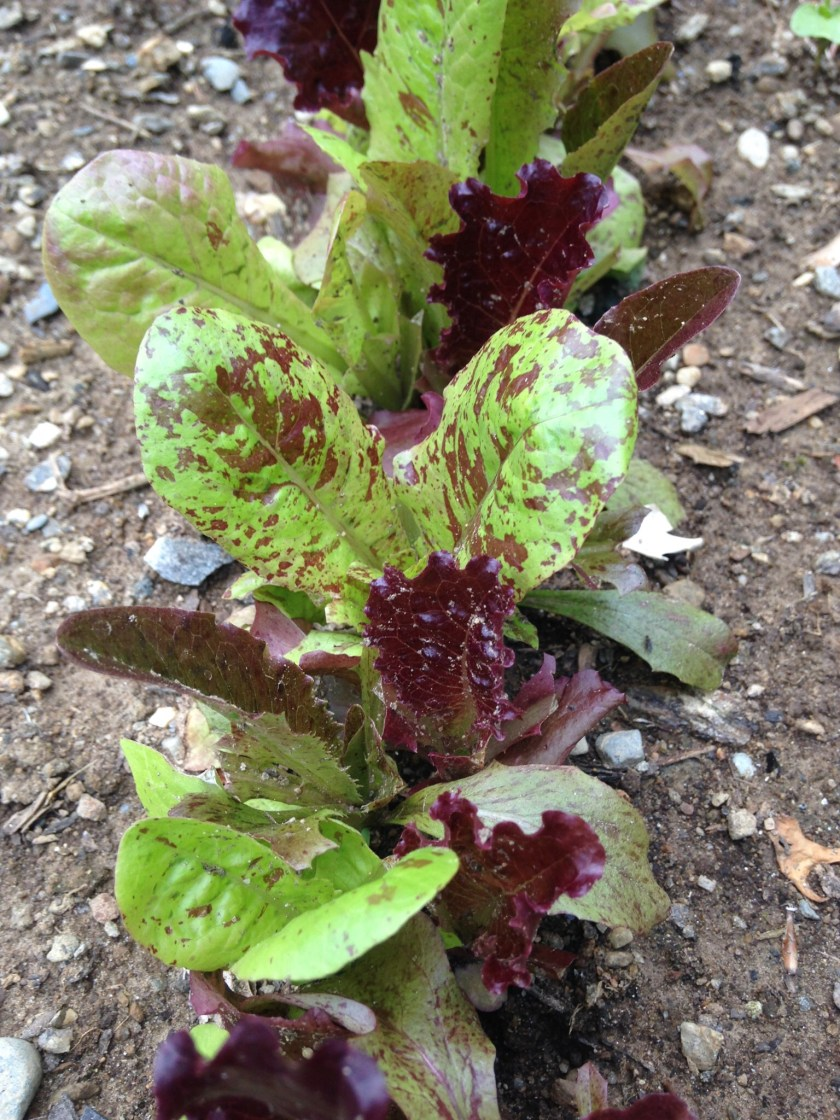 These lettuce plants are now ready to start being harvested.