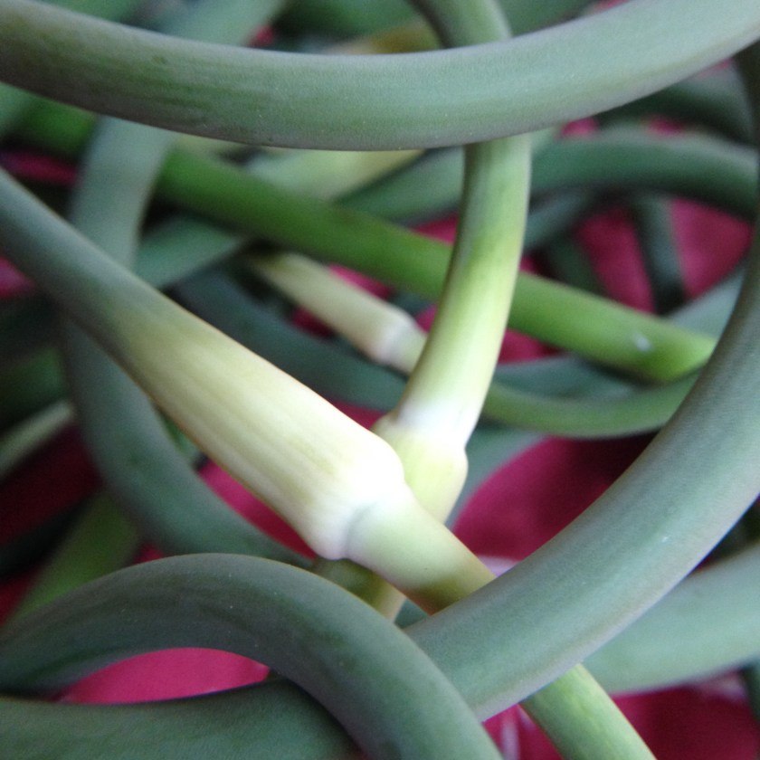 Elegant garlic scapes!
