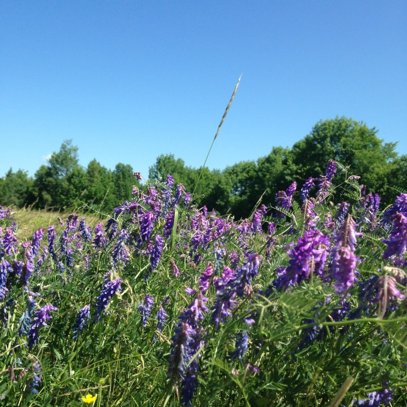 Sea of purple vetch.