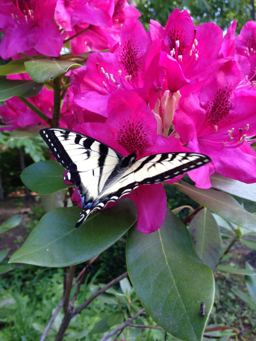 Swallowtail butterfly on Rhododendron.