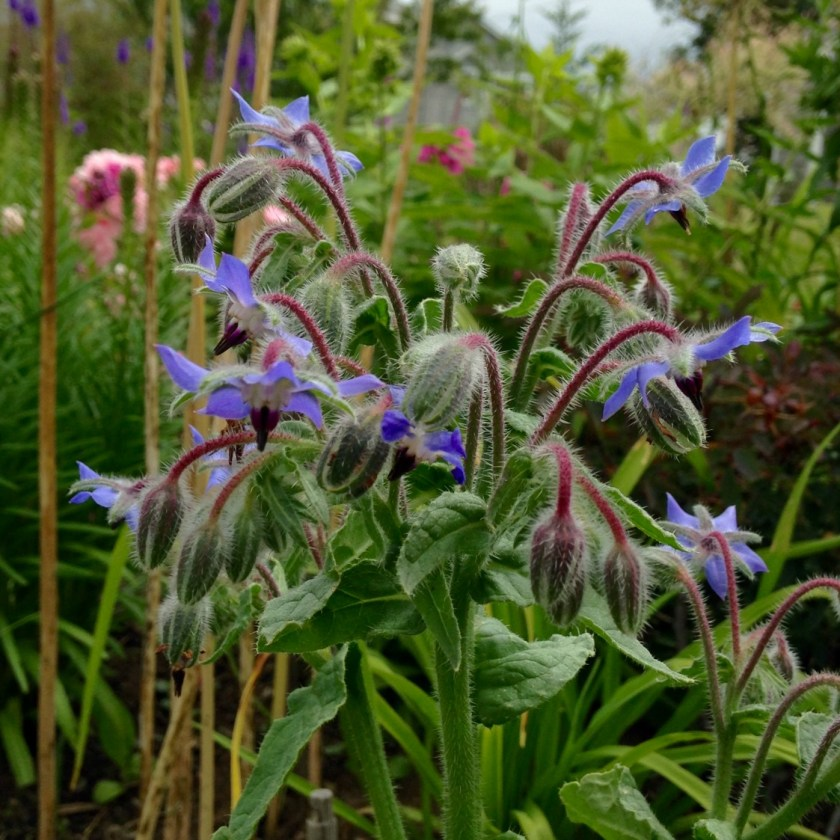 Borage is another beneficial herb.