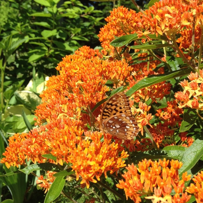 Butterfly weed is a pollinator magnet!