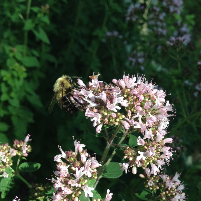 Herbs such as Oregano make great bee food.