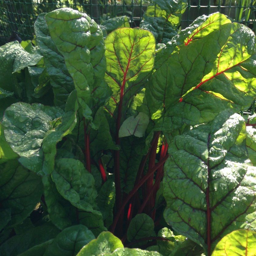 Lush leaves of the Rhubarb chard!